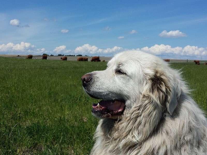 image de Concours de chiens de troupeaux