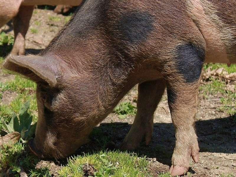 image de Soirée cochon grillé